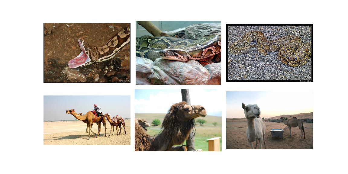 Pythons and Camels